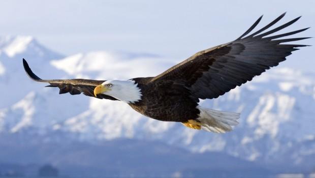 Animal-eagle-flying